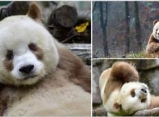 Spoznajte superzvezdo Qizai...edino živečo rjavo pando na svetu!