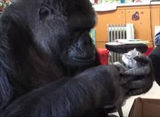 Osamljena Gorila nima svojih mladičev, da bi jo rabili, dokler ne dobi tole...