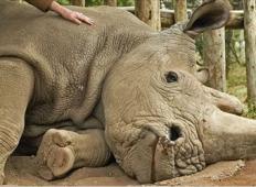 Zadnja fotografija: Tukaj pogine zadnji beli nosorog